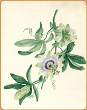 Passiflora by Emily Langshaw c.1832